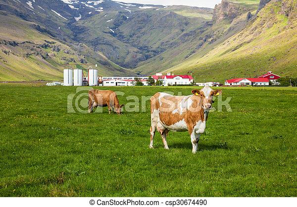 Icelandic Dairy Farm Brown Holstein Cow Grazing At Pasture In