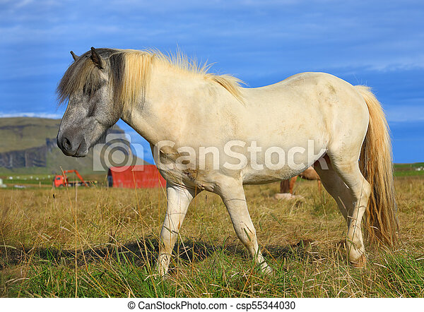 Icelandic horse in the field - csp55344030