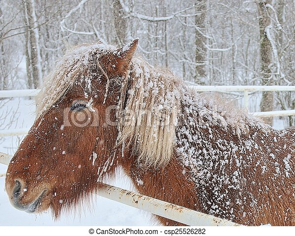 Icelandic Horse in winter - csp25526282