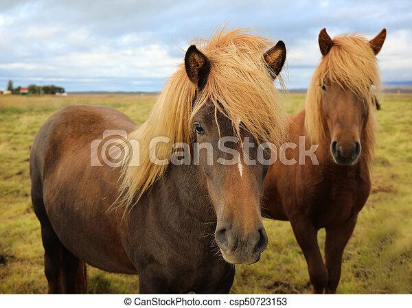 Icelandic horses grazing in the field - csp50723153