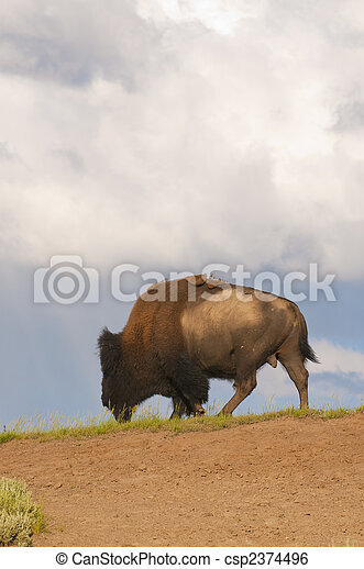 iconic bison in Yellowstone - csp2374496
