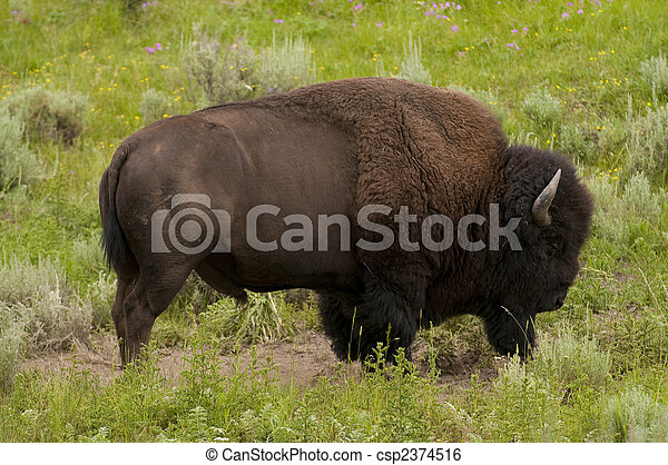 iconic bison in Yellowstone - csp2374516