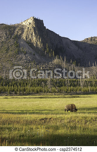 iconic bison in Yellowstone - csp2374512