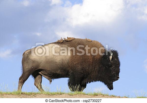 iconic buffalo - csp2730227