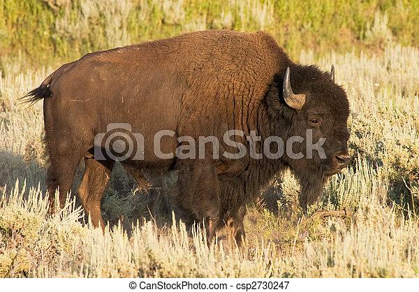 iconic buffalo - csp2730247