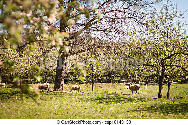 Idyllic rural scenery: sheep grazing in an orchard on a lovely spring day - csp10143130