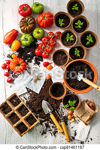 ifferent varieties of tomatoes, young seedlings, seeds and and gardening tools on wooden table - csp91461187