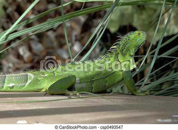 Iguana 1 - csp0493547