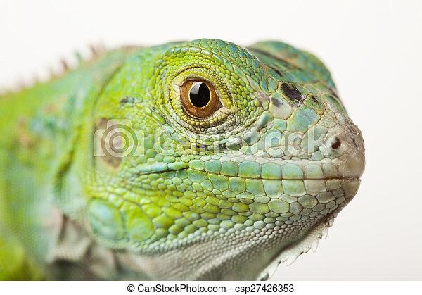Iguana isolated on white background - csp27426353
