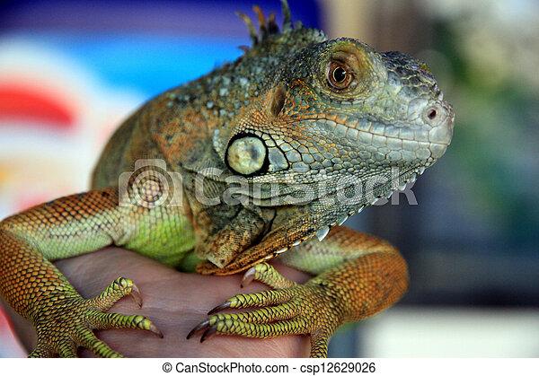Iguana looking at the camera. - csp12629026