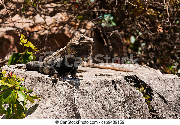 Iguana on the rock in Tulum Mexico Yucatan - csp9489159