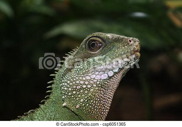 iguana - csp6051365