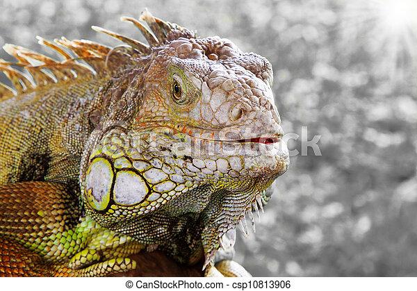 Iguana - csp10813906