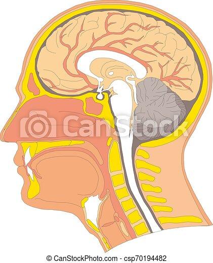 illustration, anatomi, hjärna, vektor, mänsklig, inre - csp70194482