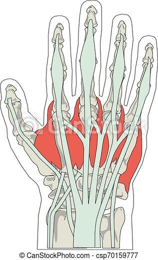 illustration, hand, anatomi, vektor, mänsklig, knotor - csp70159777