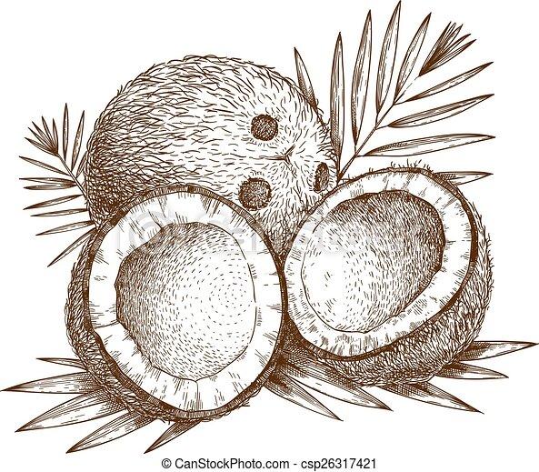 illustration of coconut - csp26317421