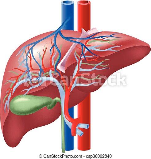 Illustration Of Human Liver Vector Illustration Of Human