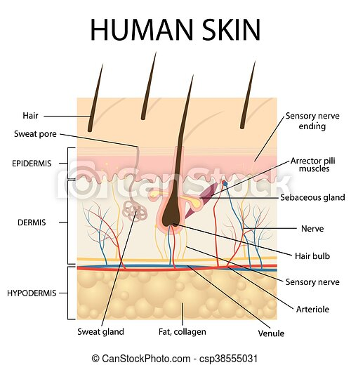 Illustration Of Human Skin Anatomy Illustration Of Human Skin And