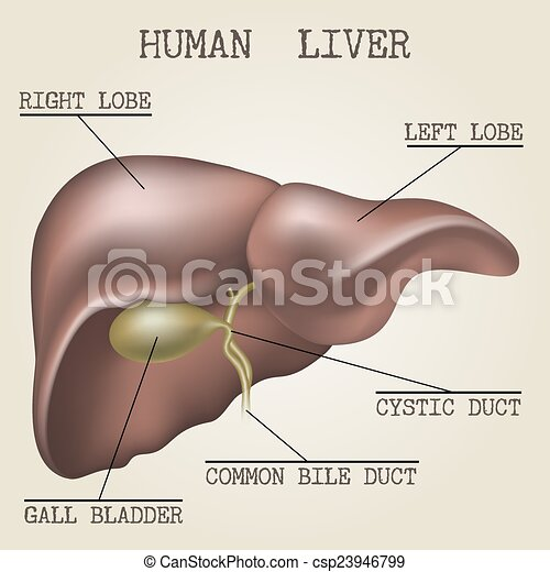 Illustration Of The Human Liver Anatomy Human Liver Anatomy