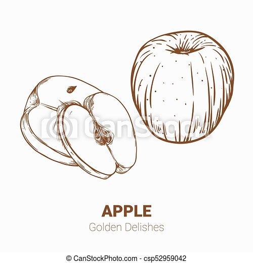 Illustration set of drawing apples Golden delicious elements. Hand draw illustration set for design. - csp52959042