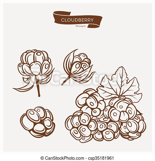 Illustration set of drawing Cloudberry. Hand draw illustration set for design. Vector engraving drawing antique illustration of Cloudberry with leafs. - csp35181961