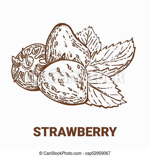 Illustration set of drawing strawberry. Hand draw illustration set for design. Vector engraving drawing antique illustration of strawberry with leafs. - csp52959067
