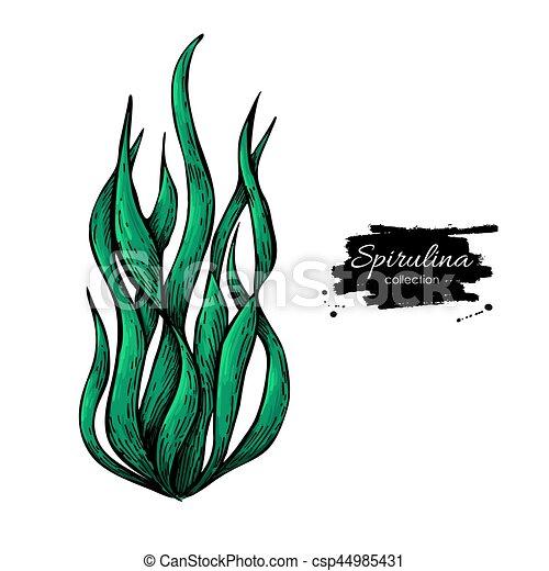 Illustration Spirulina Isolato Mano Fondo Vettore Alga