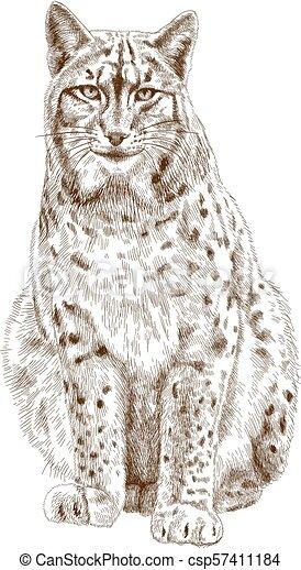 illustrazione, incisione, lince - csp57411184