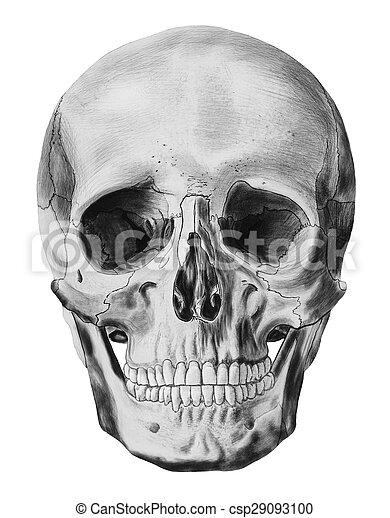 ilustrace, lidská bytost lebka - csp29093100