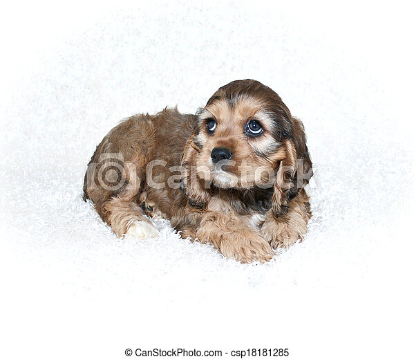 Im sorry a sweet cocker spaniel puppy with sad eyes looking up on im sorry csp18181285 voltagebd Images