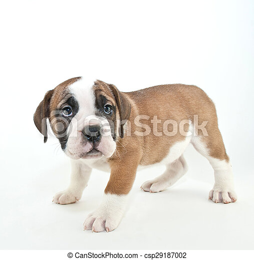 Im sorry cute bulldog puppy that looks like he just got in trouble im sorry csp29187002 voltagebd Images