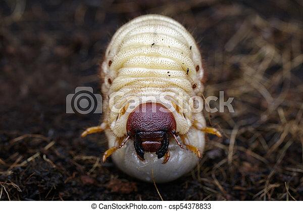 Image Of Grub Worms Coconut Rhinoceros Beetle Oryctes Rhinoceros Larva On The Ground