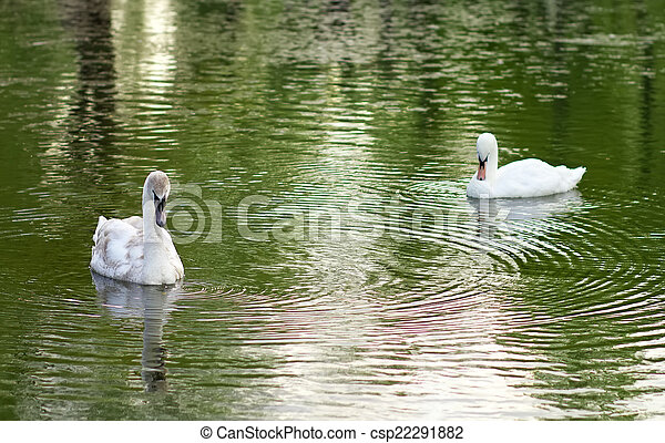 image of two swans on the city lake  - csp22291882