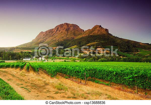 imagem, vinhedo, sul, áfrica., stellenbosch, paisagem - csp13688836