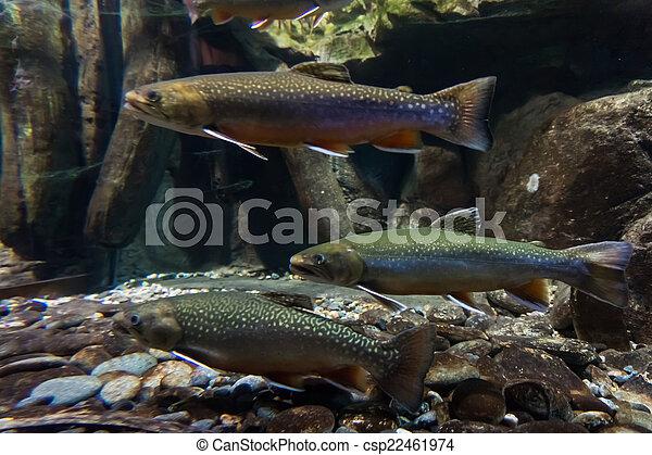 Imagen subterránea de truchas marinas. Trucha de Brook - csp22461974