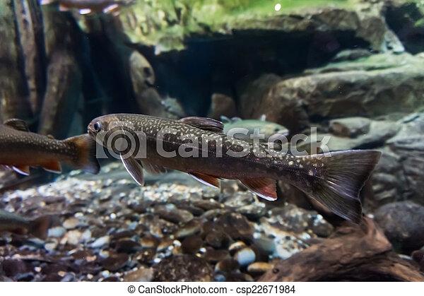Imagen subterránea de truchas marinas. Trucha de Brook - csp22671984
