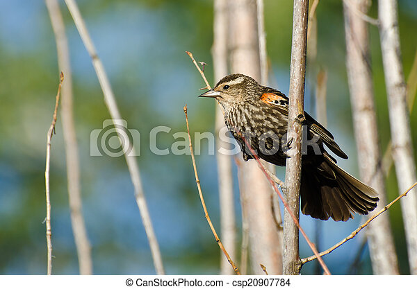 Immature Red-Winged Blackbird Perched in a Tree - csp20907784