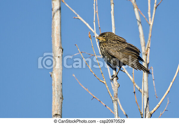 Immature Red-Winged Blackbird Perched in a Tree - csp20970529