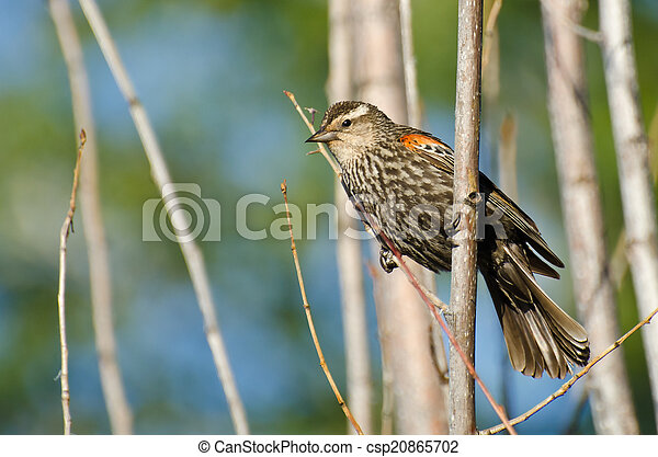 Immature Red-Winged Blackbird Perched in a Tree - csp20865702