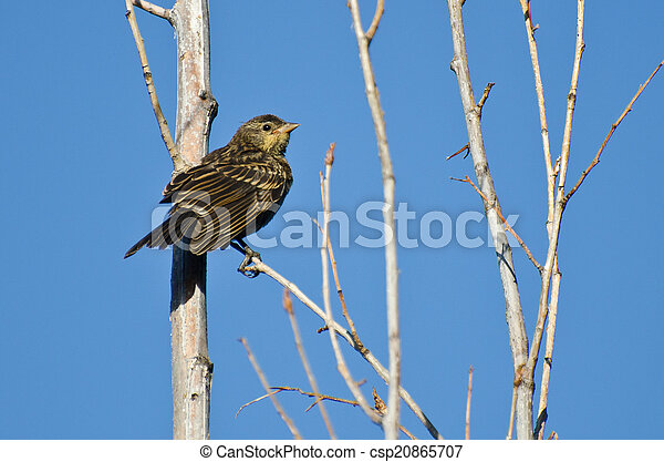 Immature Red-Winged Blackbird Perched in a Tree - csp20865707