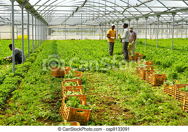 Immigrants to work in greenhouses - csp9133091