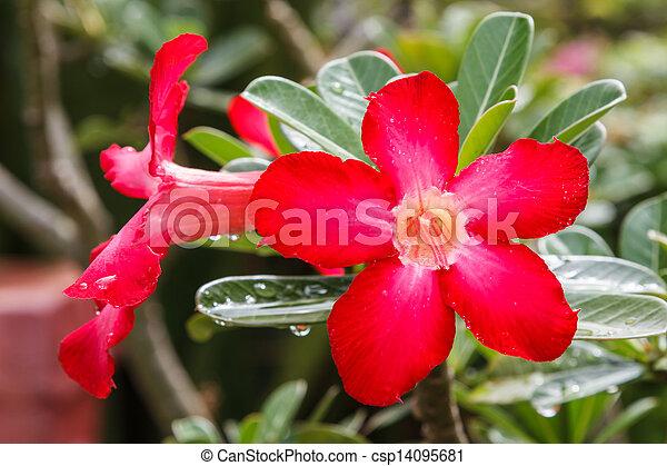 Impala Lily Adenium - csp14095681