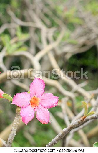 Impala lily adenium - csp20469790