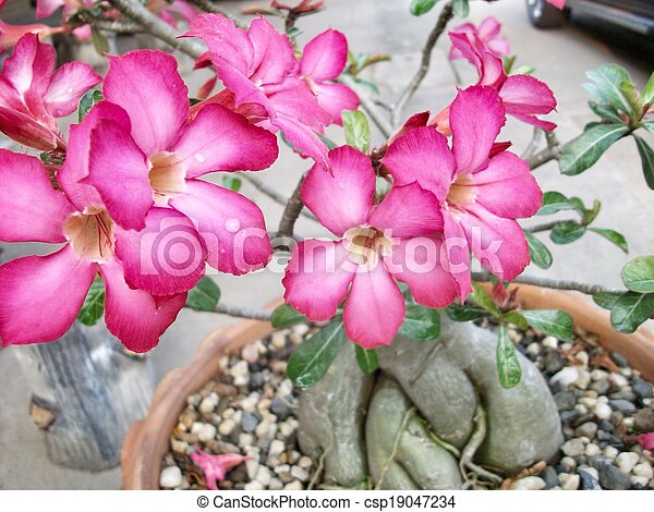 Impala lily adenium - csp19047234