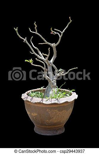Impala Lily Adenium - csp29443937