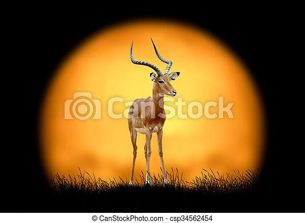 Impala on the background of sunset - csp34562454