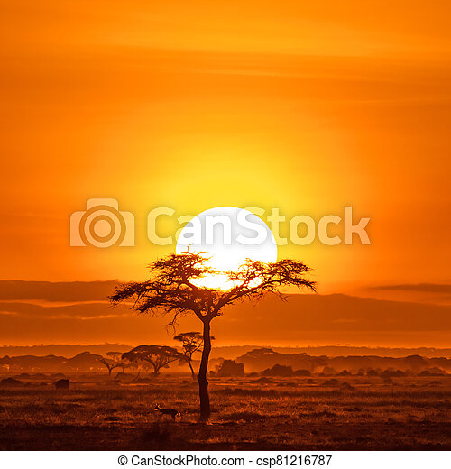 Impala under an acacai tree at sunrise, Amboseli - csp81216787