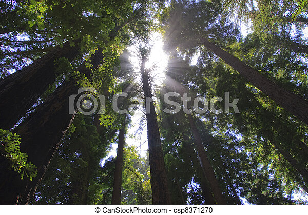 In a redwood forest with sunshine above. - csp8371270