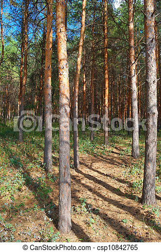 In the forest with pines - csp10842765