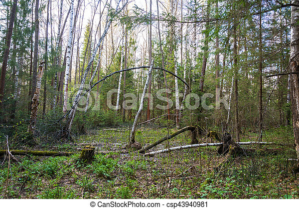 In the old forest on a spring day. - csp43940981